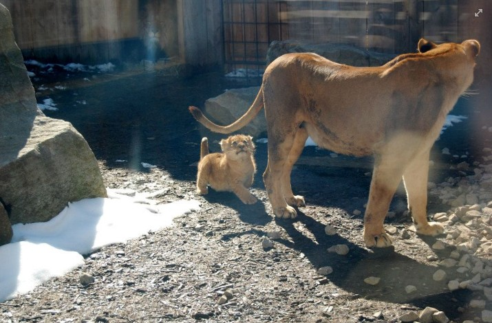 Mom Lion has Baby Cubs!