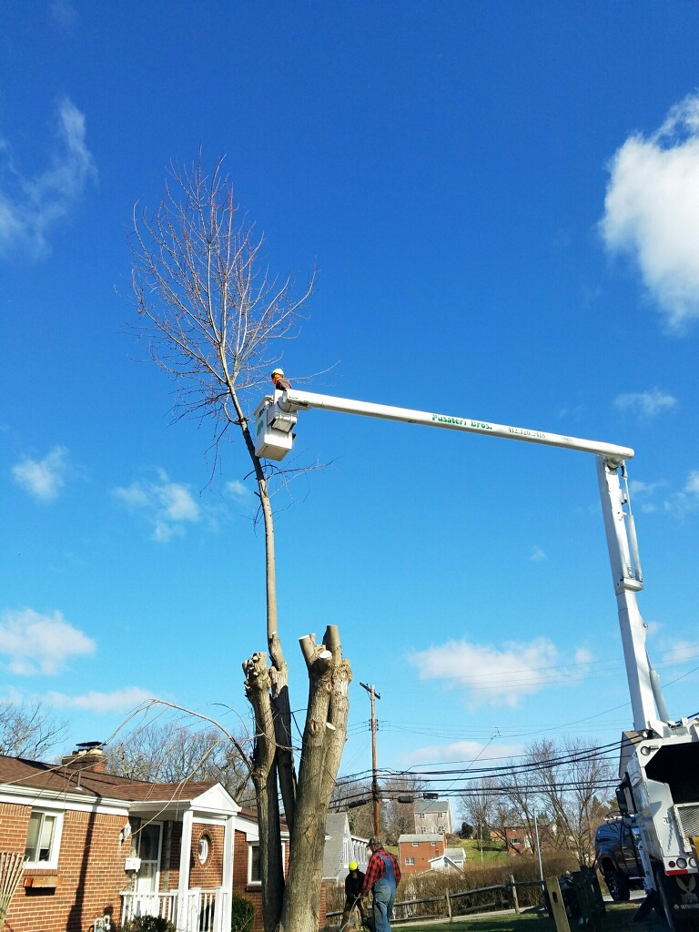 Tree Bracing and Cabling Pittsburgh