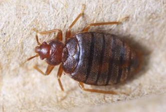 Bed Bug Removal St Peters